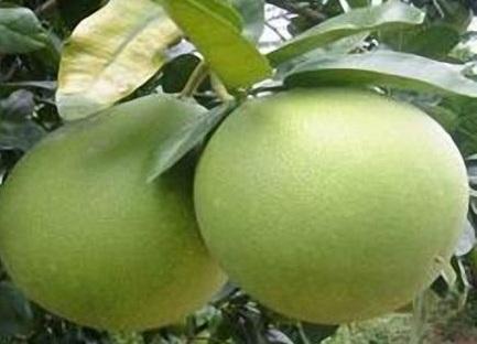 Hạt bưởi giúp trị bệnh đau dạ dày, hat buoi giup tri benh dau da day